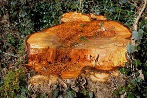 dessouchage d arbres 06