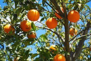 traitement des arbres fruitiers